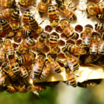 Capitalism Saves the Bees! U.S. honey-producing bee colonies jump to 22-year high